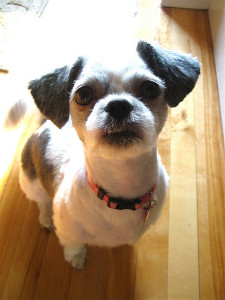Kennel Cut on Shih Tzu