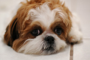 Step by step on how to groom your Shis Tzu